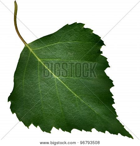 Green Poplar Leaf