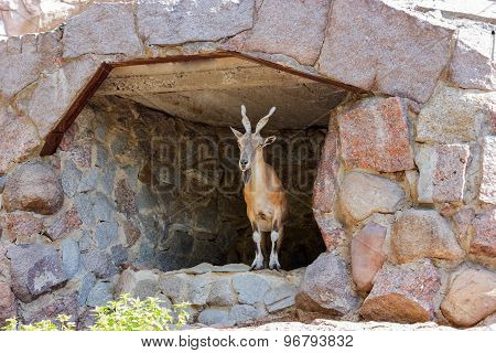 Cute Goat Looking Around In Their Shelter