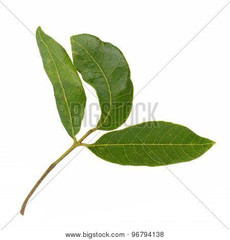 Longan Leaves