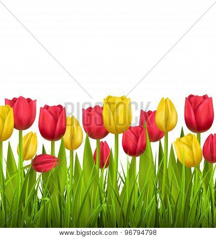Green Grass Lawn With Tulips Isolated On White. Floral Nature Flower Background