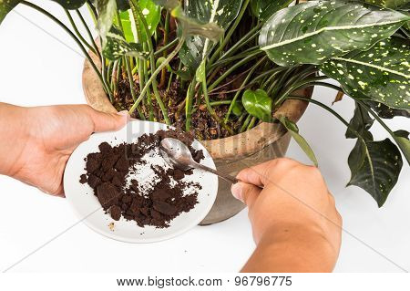 Spent grounded coffee applied onto potted plant as natural fertilizer
