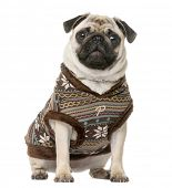 pic of pug  - Dressed Pug sitting in front of a white background - JPG