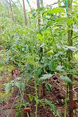 picture of greenhouse  - Fresh unripe tomatoes in greenhouse taken closeup - JPG