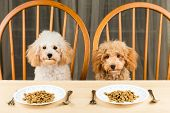 Uninterested poodle puppy with plate of kibbles on the dining table poster
