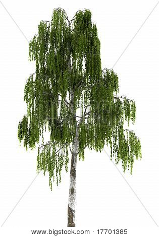 high resolution birch tree isolated on white background