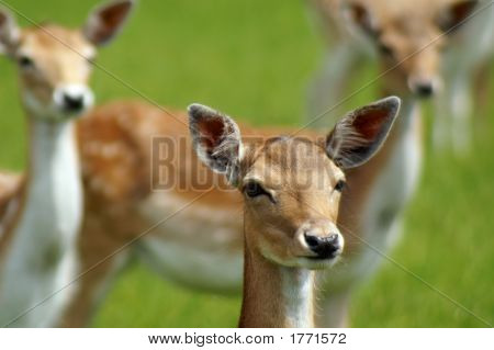 Three Young Deer
