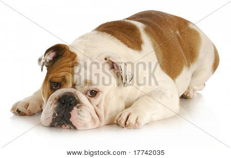 sad dog - english bulldog laying down with sad expression on white background