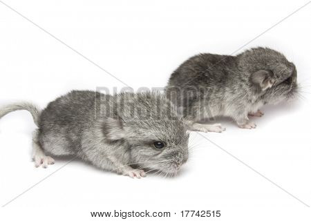 two newborn chinchillas close up isolated on white background