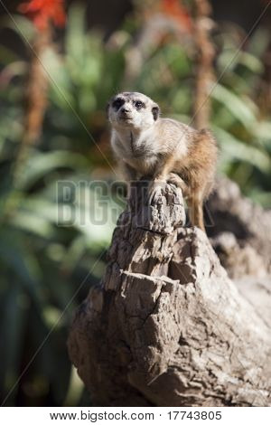 Little meercat sitting on a rock