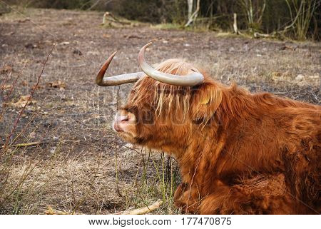 Closeup of a resting hairy and cute Highland Cattle