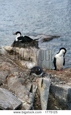 Cormorants With Gentoo Penguin