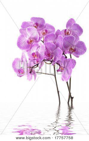orquídeas Phalaenopsis en un agua