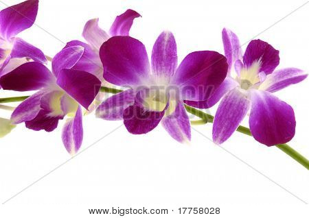 Pink  purple orchids isolated on white background