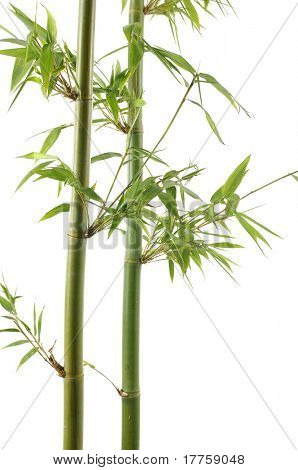 Branch of a bamboo. Isolation on white