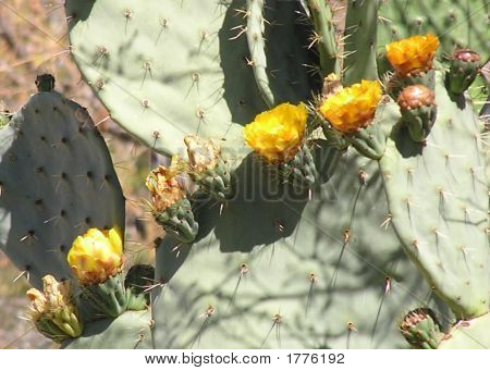 Cactus Blossoms In A Row