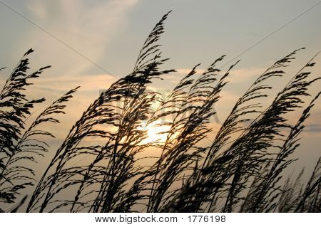 Florida Sea Oats