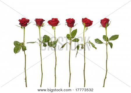 Long stem red roses on the white