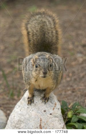 Squirrel On Rock Front