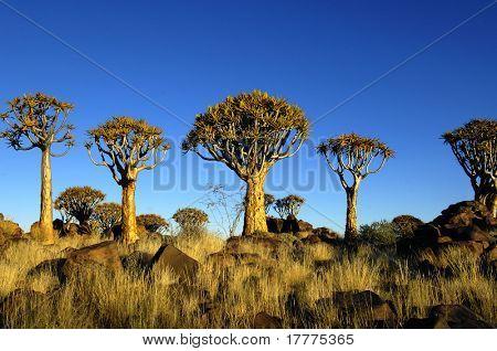 Quiver tree bij zonsopgang in Namibië, Afrika