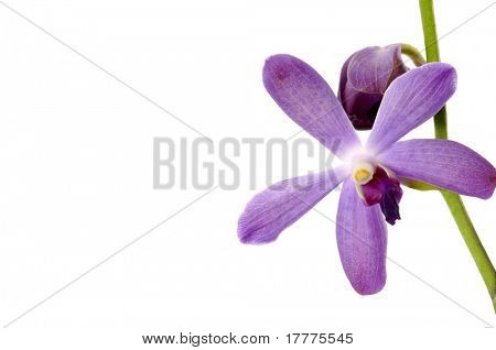 A pink orchid set against a plain background