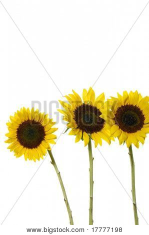 3 sunflower isolated on clear white background