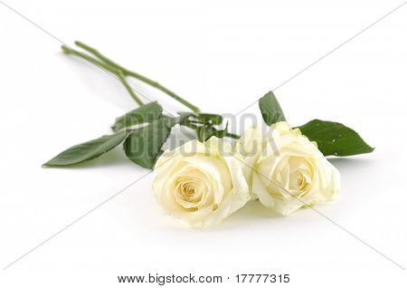 Two white roses on white