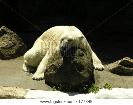 Polar Bear Naptime