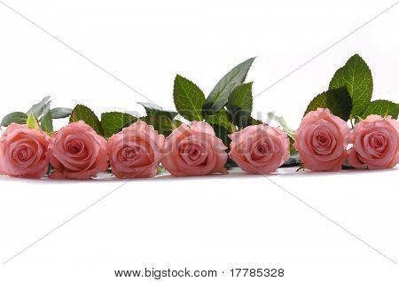 Row of bright pink roses