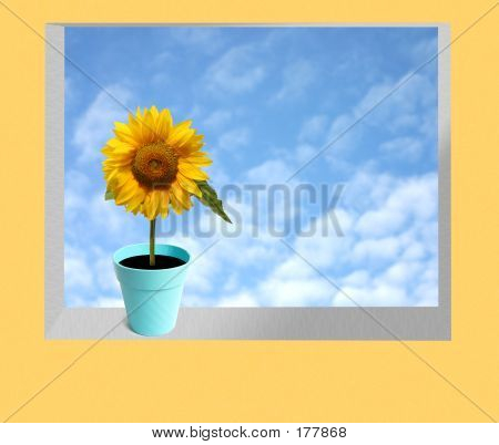 Beautiful Sun Flower On A Window