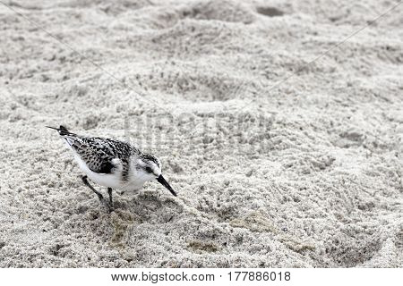 One young Snowy Plover bird in the gray white sand on a beach in North Carolina. One small Charadrius Nivosus or Snowy Plover bird in the sand closeup in Caswell Beach NC.