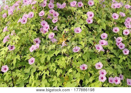 Large wild Morning Glory bush with many violet purple flower petals growing in the morning sun. Violet Morning Glory vine flower blossoms blooming with green leaves