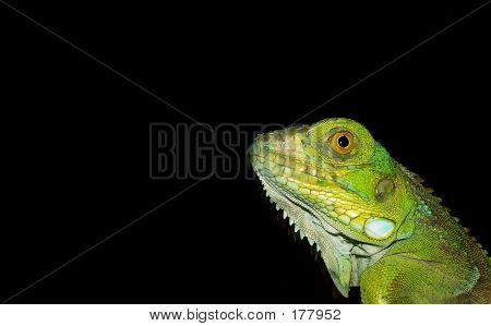 Hatchling Green Iguana