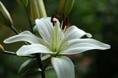 stock photo of white lily  - White lily - JPG