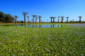 stock photo of baobab  - Baobab trees in Madagascar - JPG