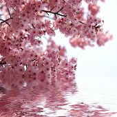 stock photo of cherry blossom  - Spring cherry blossoms - JPG