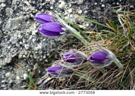 Blooming Pasqueflower