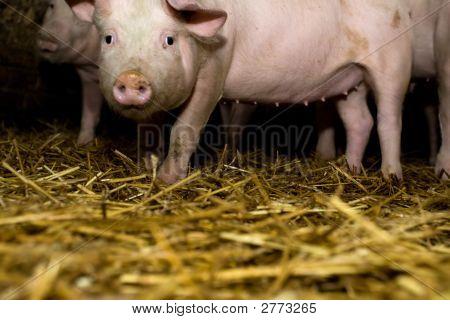 Baby Pigs