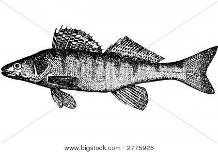 Fish Bersh (Lucioperca Volgenis(Latin))