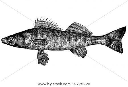 Fish Pike Perch (Lucioperca Lucioperca(Latin))