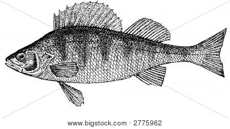 Fish Perch. Illustration.