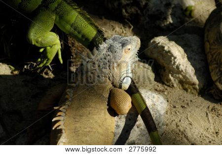 Big Green And Grey Lizards