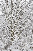 Snowy Winter Trees, Fresh New Snow Covered Branches After Blizzard Snowstorm, Heavy Snowfall Drifts, poster