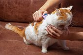 Cat Is Brushed And Combed.owner Hand Holding Of Brush Combing Fur Of A Cat poster