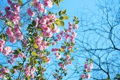 Pink cherry flowers. Pink flowers on a blue sky background. Sakura. Cherry blossom poster