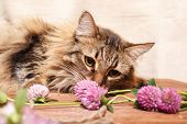 A Fluffy Gray Tabby Cat And A Pink Clover Flowers On A Beige Background. Funny Beautiful Tabby Cat S poster