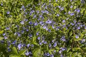 Spring Speedwell (veronica Chamaedrys) Plants In Full Bloom Under The Spring Sun. Also Known As Germ poster