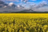 Beautiful Spring Background With Colorful Bright Yellow Rapeseed (brassica Napus) Crops And Dramatic poster
