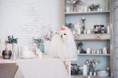 Glamorous White Maltese In A Stylish Interior. poster