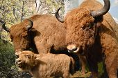 picture of aurochs  - The photo of stuffed aurochs - JPG