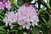 Beautiful Bright Flowers Of Rhododendron With Colorful Petals, In Spring In The Garden, Closeup poster
